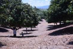 mango farm lot