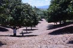mango farm lot