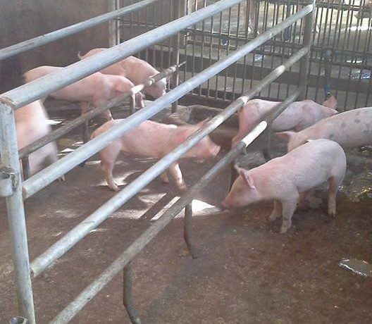 pig farm for sale (17)