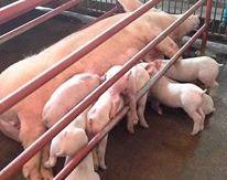 pig farm for sale (7)