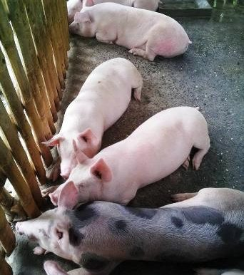 Bunawon_Land_2016.08.01_pigs-3-342x448